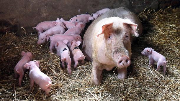 ВПетушинском районе из-за очередной вспышки АЧС уничтожат 16,5 тыс свиней
