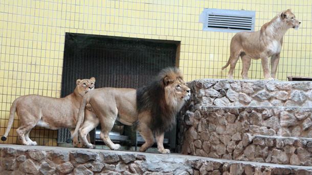 Львы в Киевском зоопарке